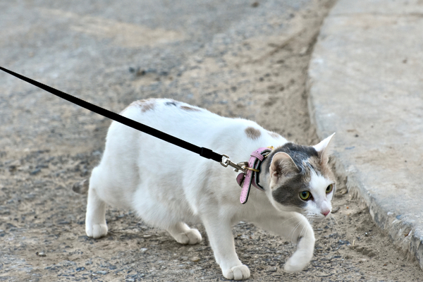 where can you buy a cat harness