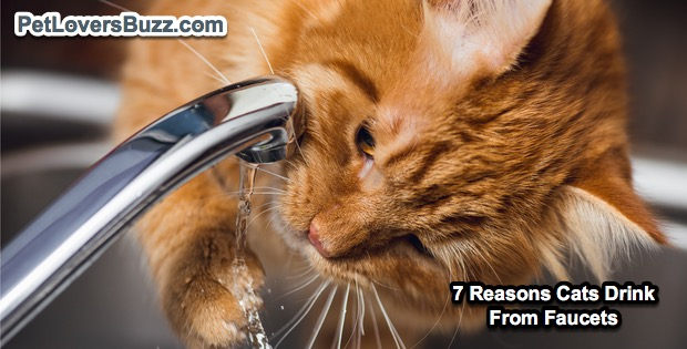 7 Reasons Your Cat Drinks From The Faucet? -